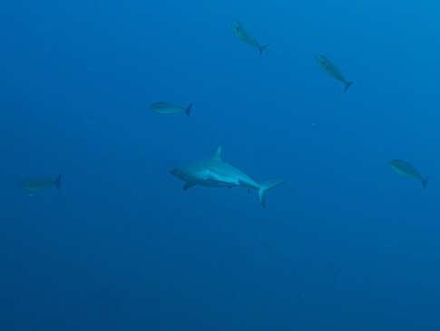 Hai-Tauchen im Alor-Archipel – Indonesien