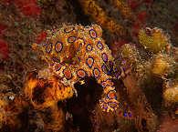 Tintenfisch – Alor Island Dive Center