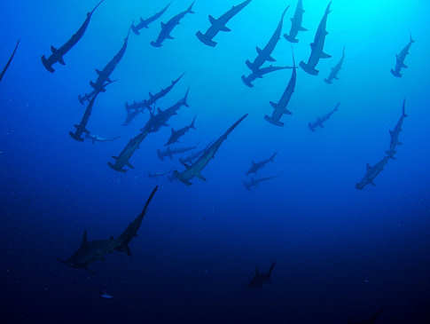 Tauchen mit Hammerhaien mit den Alami Alor Divers