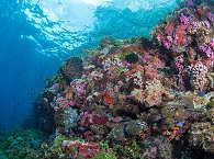 Die gesunden Korallenriffe auf Alor Island