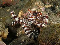 bunte Oktopusse in der Kalabahi Bay