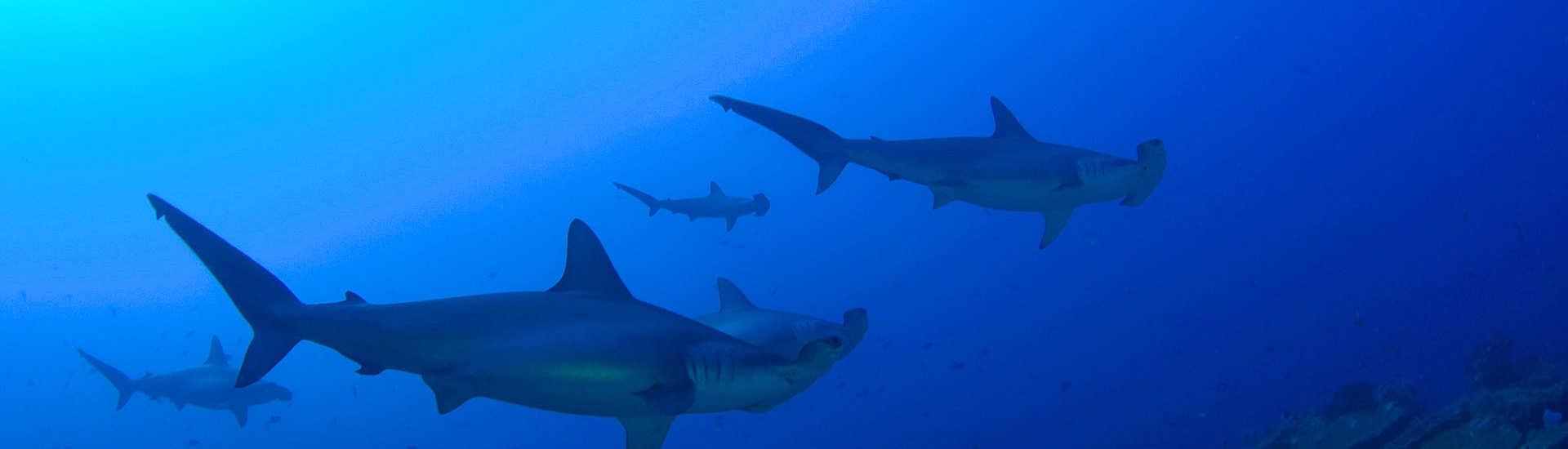 Tauchen mit Hammerhaien