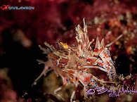 Krebsartige der Bucht von Ambon