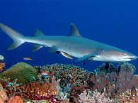Weisspitzenriffhai im Apo Reef