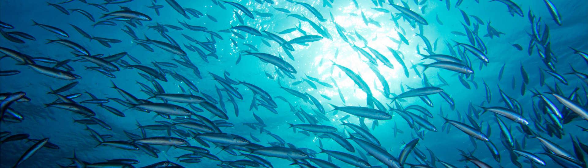 Tauchen Apo Reef Philippinen