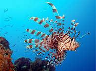 Tauchen Philippinen – Apo Reef