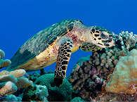 Karettschildkröte vor Apo Island