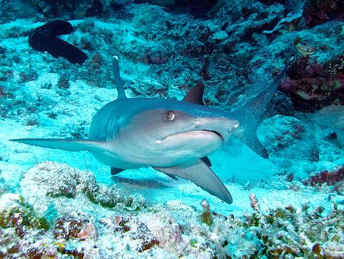 Weisspitzen Riffhai im Apo Reef