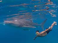 Schnorcheln und Tauchen mit Walhaien vor Oslob