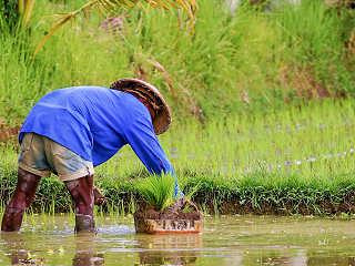 Reisbauer auf Bali, Indonesien