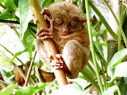 Tarsier Affe – Tauchreisen nach Bohol