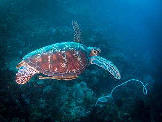 Beim Tauchen vor Anda (Bohol) überall anzutreffen: Schildkröten