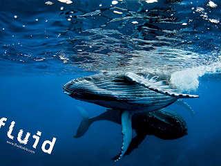 Buckelwale vor Tahiti