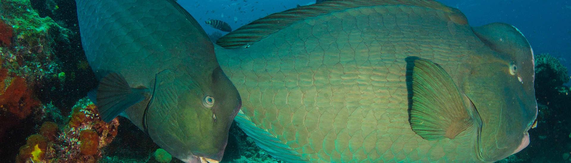 Büffelkopf-Papageifischen autnah!! – Dampier Strait, Raja Ampat