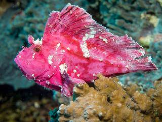 Critter Tauchen an den Riffen vor Selayar – Sulawesi