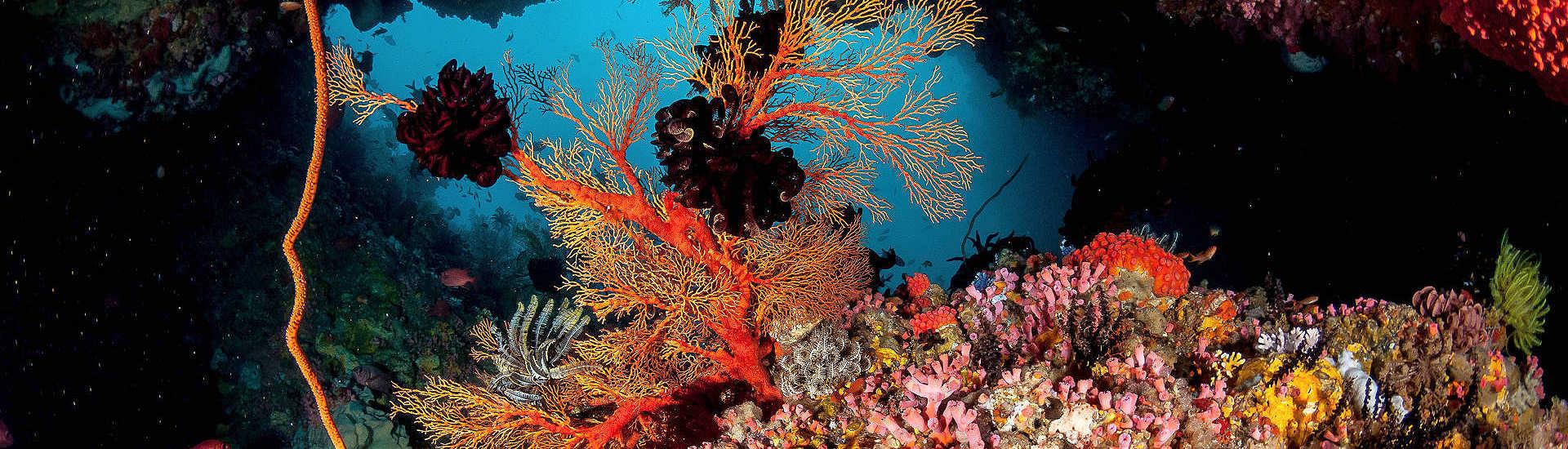 bunte Korallenwelten in den Molukken