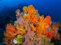 Korallen der Straße von Lembeh