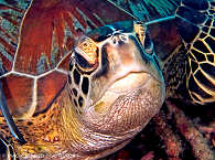 Schildkröte – Tauchen Moalboal