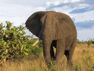 Elefant im Kruger Nationalpark – Südafrika