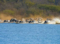 Flusspferde im Kruger Nationalpark – Südafrika