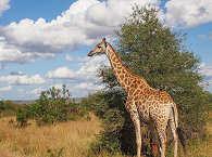 Giraffe im Kruger Nationalpark – Südafrika