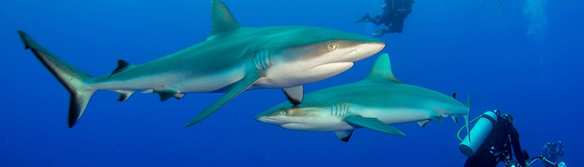 Französisch Polynesien – ein Muss für Hai Fans