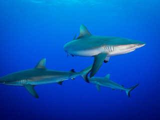 Grauhaie vor Rangiroa – Französisch Polynesien