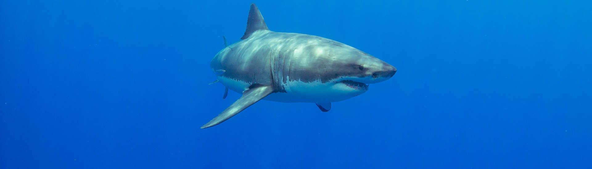 Guadalupe – Tauchen mit Weißen Haien