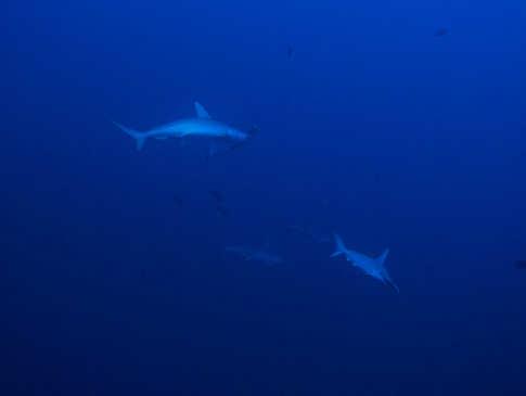 Tauchen mit Haien in Alor