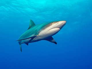 Tauchen in Französisch Polynesien – Silky Shark