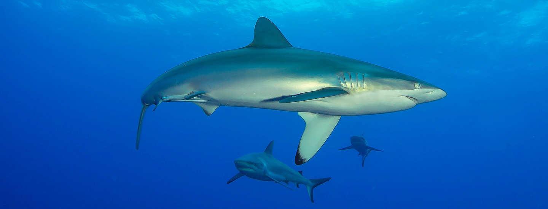 Tauchen mit Haien vor Rangiroa, Franz. Polynesien