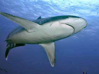 Grauer Riffhai – Tauchen Malediven