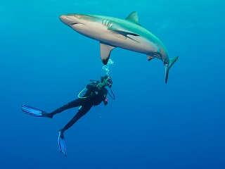 Tauchen mit Haien – Französisch Polynesien