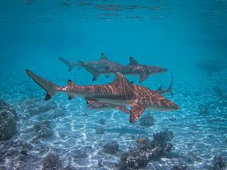 Schwarzspitzen Riffhaie – Süd Fakarava, Polynesien