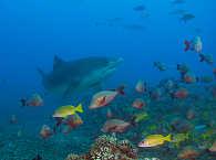 Tigerhaie vor Tahitis Küste – Französisch Polynesien