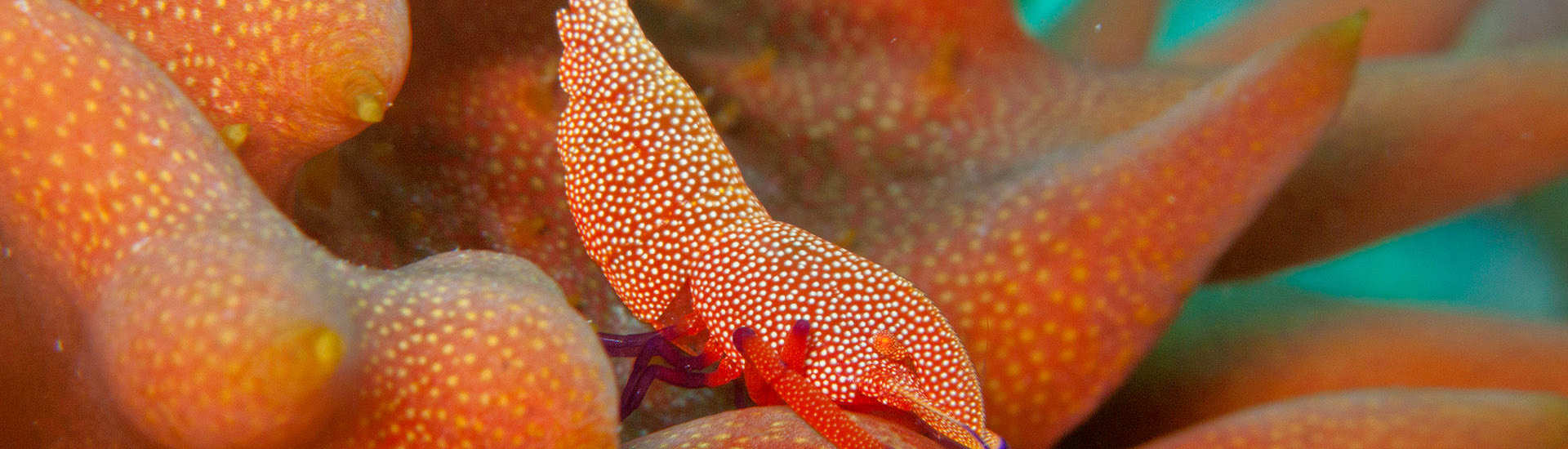 Imperator Garnele (emperor shrimp) – Halmahera, Indonesien