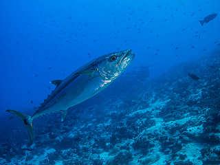 Hundezahn Thunfisch – Französisch Polynesien