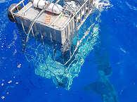 Weiße Haie vor den Tauch-Käfigen – Guadalupe