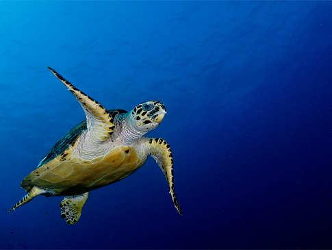 Schildkröte vor Sumbawa