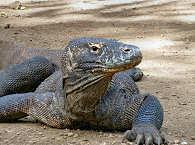 "Komodo Nationalpark – Hautnah! Komodo ""Dragon"" auf Rinca"