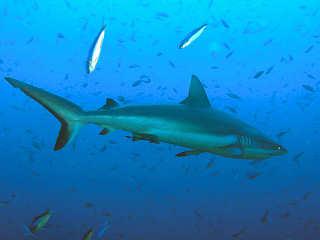 Grauer Riffhai – Tauchen in Komodo