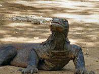 Komodowaran – Tauchreisen nach Komodo