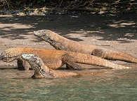 Komodo Nationalpark – wilde Komodo Warana auf Rinca