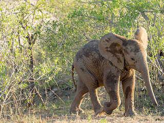 Junger Elefant, Kruger Nationalpark – Südafrika