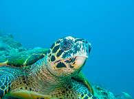 Schildkröte – Luzon und Mindoro, Philippinen