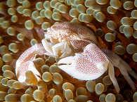 Porzellan-Krabbe im Magic Ocean Hausriff – Anda, Bohol