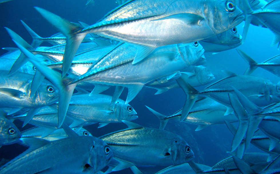 Makrelen – Tauchen auf den Philippinen in Bohol