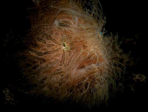 Hairy Frogfish aufgenommen um Bangka Island – Nord Sulawesi, Indonesien