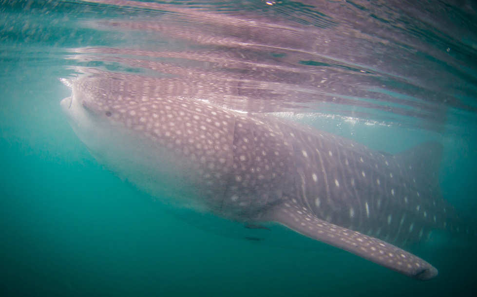 Schnorcheln mit Walhaien – Tauchsafari Malediven