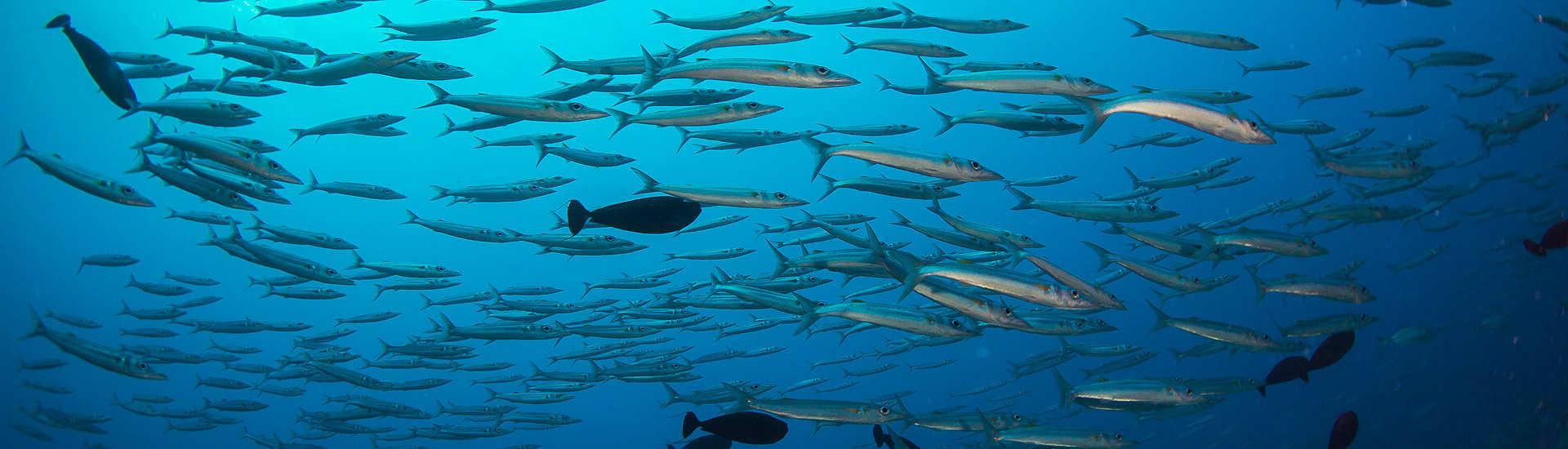 riesiger Fischreichtum – Tauchsfari Malediven